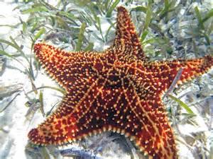 file oreaster reticulatus reticulated starfish san salvador island bahamas 3 16119005186