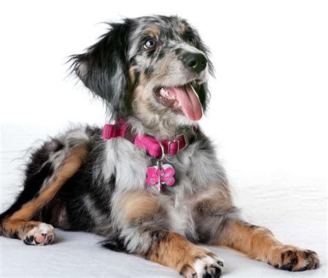dogs site aussiedoodle breed pictures photos images