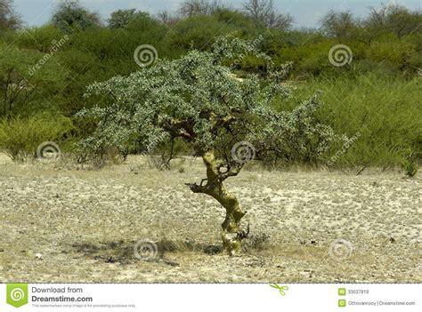 commiphora myrrha tree royalty free stock images image 33037819
