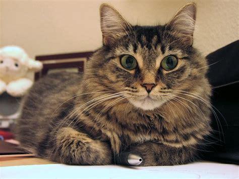 Domestic Long haired Cat   Long Hair Tabby Cat