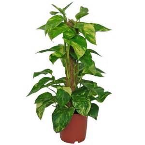 scindapsus aureus plantes et jardins