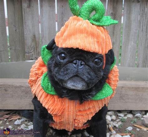 pug pumpkin costume pumpkin pug costume