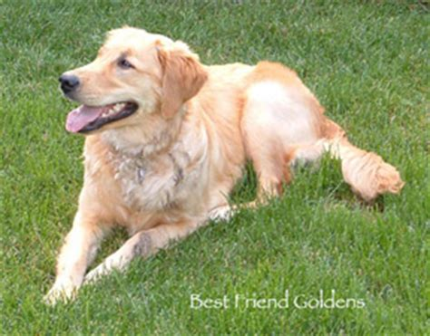 golden retriever breeders colorado springs golden retriever breeders colorado photo