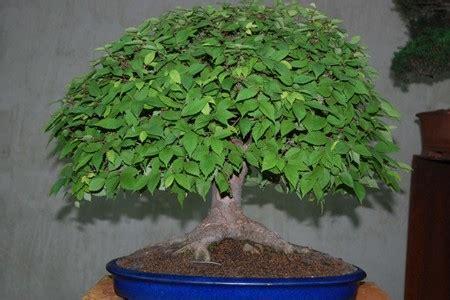 bonsai garten hamburg internationale gartenschau hamburg bonsai im norden