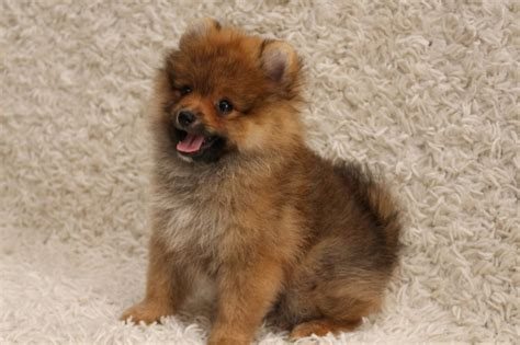 pomeranian puppies for sale in baton pomeranian puppies for sale baton la 121347 petzlover