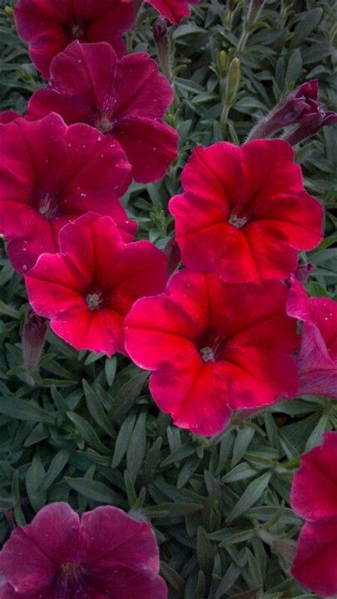 272 best images about petunias on pinterest cherries