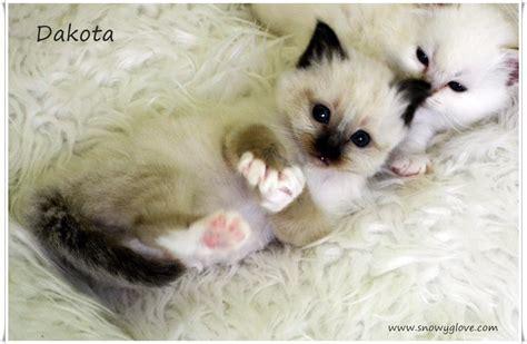 los das de birmania 8483466570 dakota gatos sagrado de birmania snowy glove