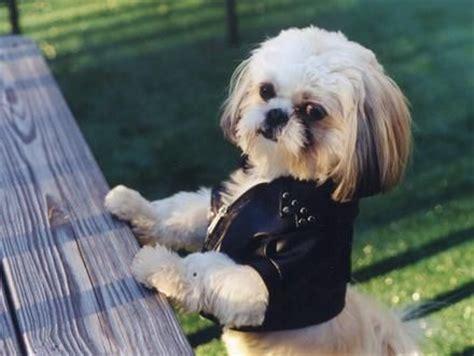 shih tzu jackets shih szu so puppy and shih tzus