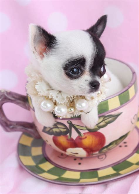 teacup chihuahua puppies for sale teacup chihuahuas and chihuahua puppies for sale by teacups puppies boutique