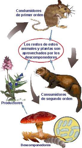 cadena alimenticia sencilla para niños tema 5 conocimiento los ecosistemas nuestra clase 5 186 b