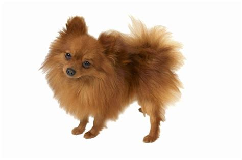 Do Spitz Shed by Teacup Pomeranian Nutrition Pets