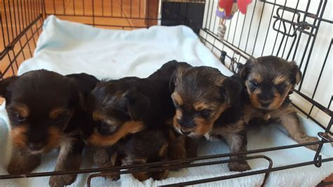 yorkie puppies for sale kijiji terrier puppies for sale coventry dogs our friends photo