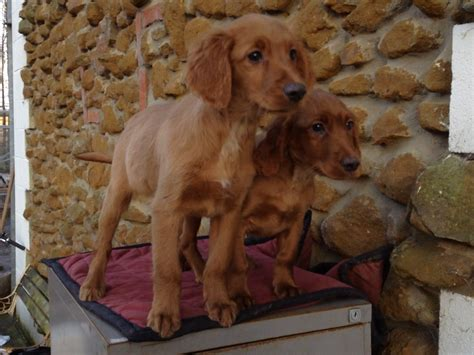 setter x golden retriever setter x golden retriever golden pups setter x golden retriever my