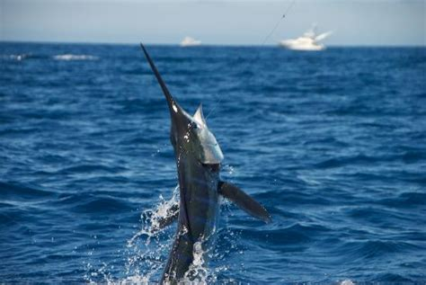 foto de fishing london charter and guide service hooked on striped marlin picture of catch fish cabo san