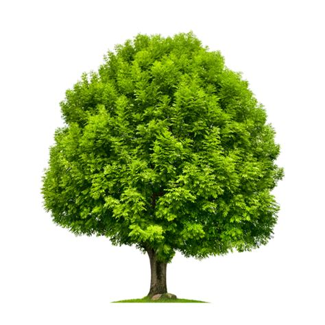 a picture of tree how to identify an ash tree heritage lawns irrigation