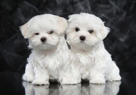 maltese puppies for adoption gorgeous elite quality tiny maltese puppies for adoption offer 185