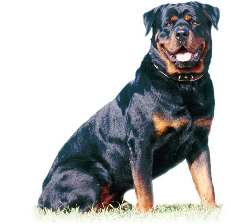 rottweiler socialization rottweiler puppies for adoption bazar