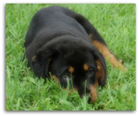 rottweiler care needs caring for your rottweiler puppy are you prepared for your new bundle of
