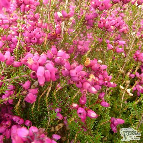 buy erica erica cinerea atrorubens winter heath heather