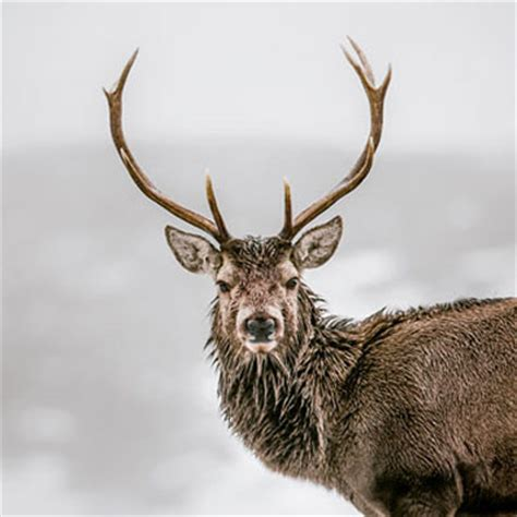 wt red deer stag christmas cards