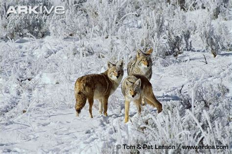 coyote videos photos and facts canis latrans arkive coyote photo canis latrans g61728 arkive
