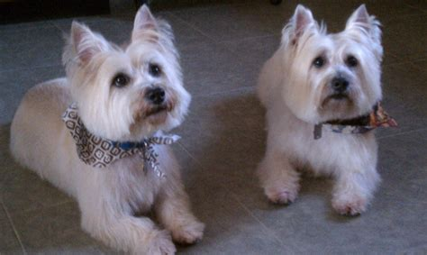 hair cuts for cairns terriers photos of cairn terrier grooming styles