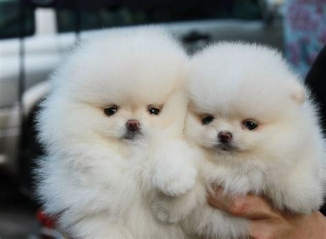 pomeranian for sale uk white teacup pomeranian puppies for sale uk