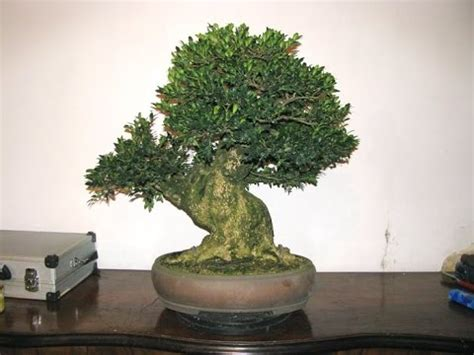 buxus sempervirens in vaso buxus sempervirens bonsai tree