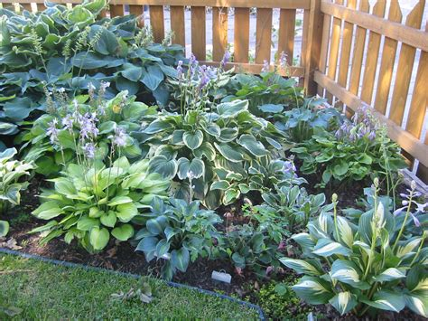 hostas on hosta gardens shade garden and