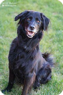 lab puppies seattle nashville tn border collie golden retriever mix meet ella a puppy for adoption