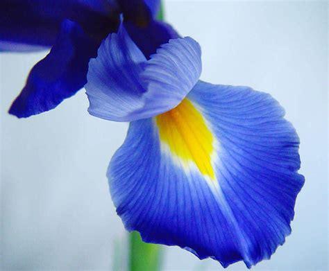 imagenes de flores iris el lirio espa 241 ol o iris xiphium floresyplantas net