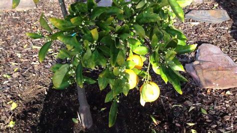 backyard fruit backyard fruit 28 images decorates backyard with fruit