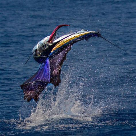 Frankie Marion S Fly Fishing Photo Of A Sailfish Fly