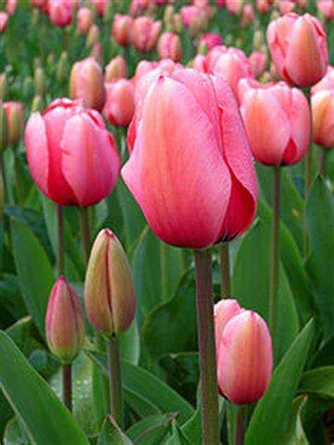tulip wikipedia bahasa indonesia ensiklopedia bebas