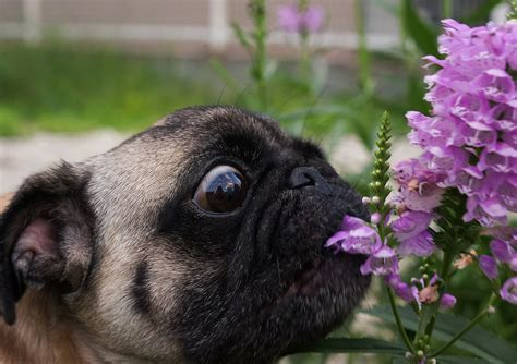 what do pugs like to eat flowers archives about pug