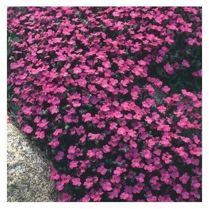 Avis Sur Tapis Ch De Fleurs by Aubrieta Carpet Aubriete Acheter Sur Plantes Ch