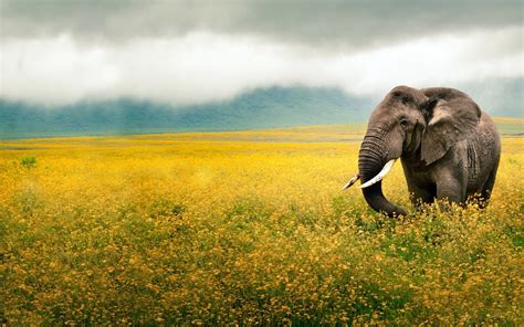 elephant wallpaper for mac 1920x1200 elephant yellow field tanzania desktop pc and