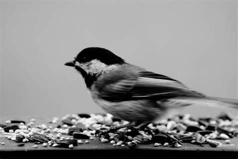White Bird Black Bird black and white bird photography www pixshark