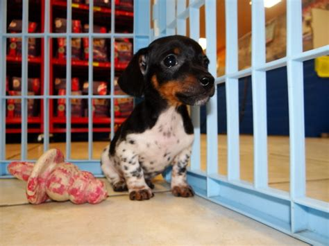 mini dachshund puppies for sale classified ad mini dachshund puppies for sale from local breeders pets
