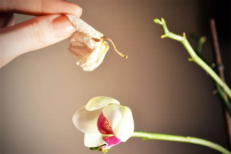 how to get orchids to bloom 8 steps with pictures