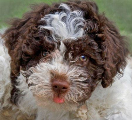 lagotto puppies pepa the lagotto romagnolo puppies daily puppy