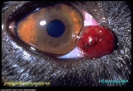 canine eye tumors symptoms   treatment