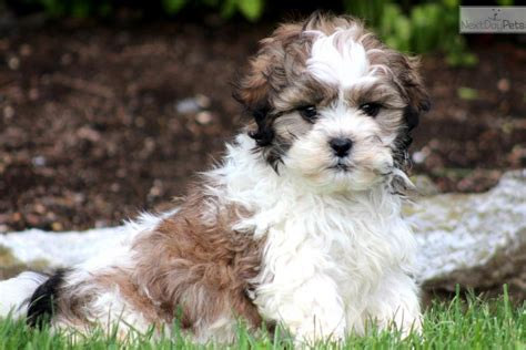 shih poo puppies pictures shih poo shihpoo puppy for sale near lancaster pennsylvania 1f984c87 4ef1