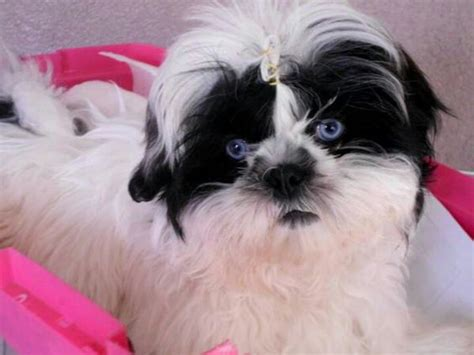 blue eyed shih tzu puppies shih tzu so and blue on