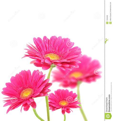 imagenes de flores libres flores rosadas de gerberas im 225 genes de archivo libres de