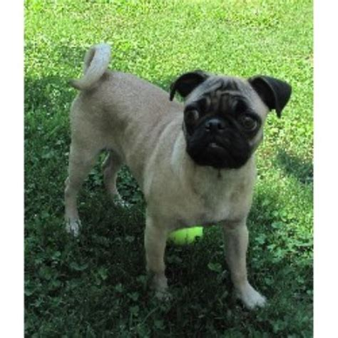 canadian pug breeders patterson pugs pug breeder in pelham alabama