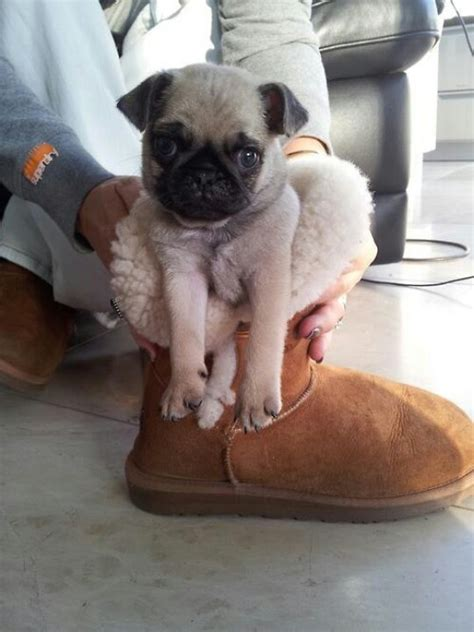 pug in a ugg pug in an ugg pugs
