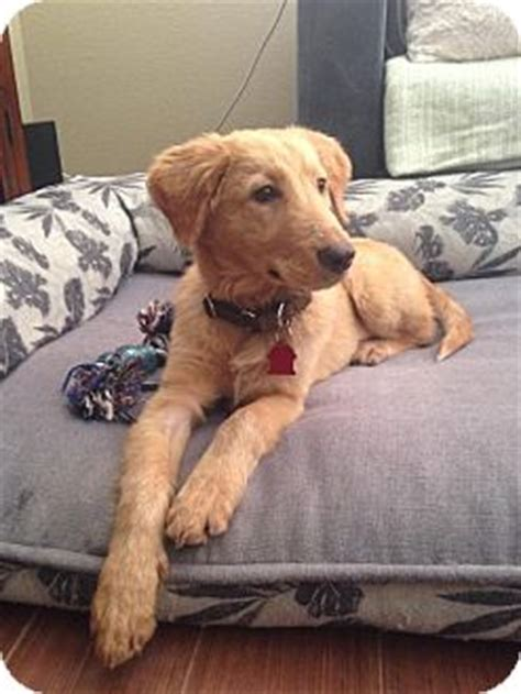 san diego golden retriever rescue san diego ca golden retriever labrador retriever mix meet duncan a puppy for adoption
