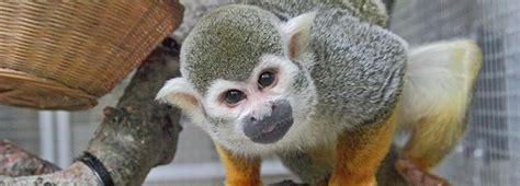 squirrel monkey rspcaorguk