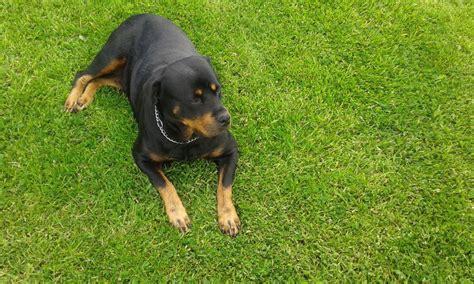 rottweiler types black forest type bred rottweiler puppies warrington cheshire pets4homes